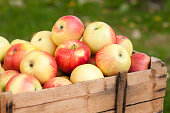 Wooden container ful with ripe red and yellow apples