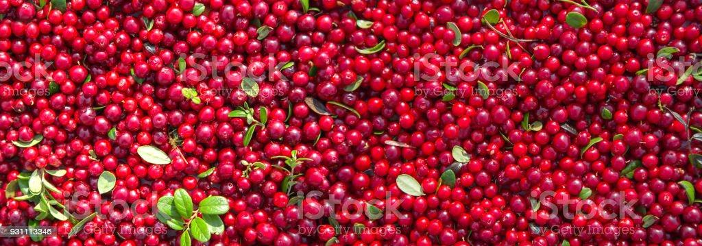 Bir yabanmersini yeşil yaprakları ile kırmızı olgun meyveler. Panorama. - Royalty-free Aydınlık Stok görsel