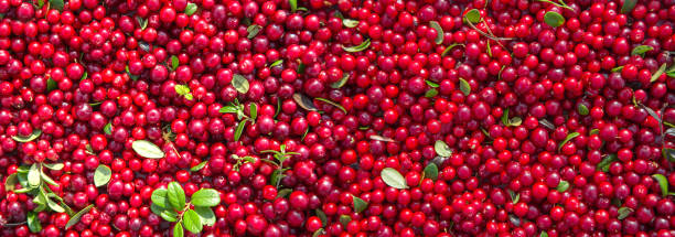 red ripe berries of a cowberry with green leaves. panorama. - cranberry stock photos and pictures