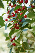Red ripe berries of sour cherry with nice summer bokeh at background