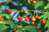 red ripe cherry on tree harvest organic fruit