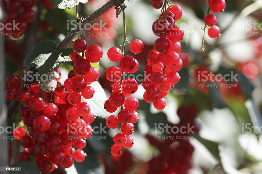 red ripe currants in sunlight royalty-free stock photo