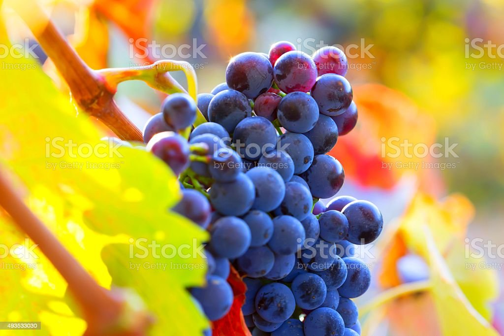 Red ripe grapes with colorful leaves stock photo