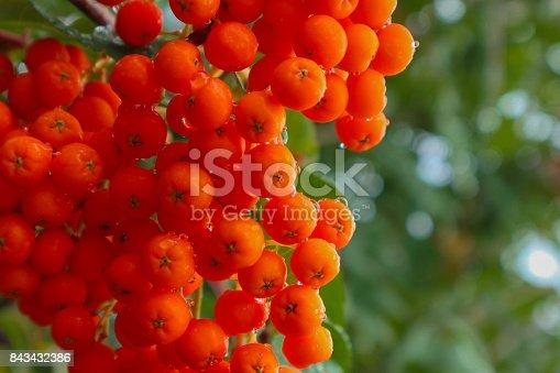 istock Red ripe rowanberries with raindrops, closeup. 843432386