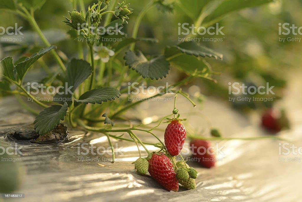 Red Ripe Strawberry on farm royalty-free stock photo