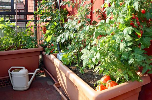 Rot reife Tomaten in den Vasen eines Stadtgartens – Foto