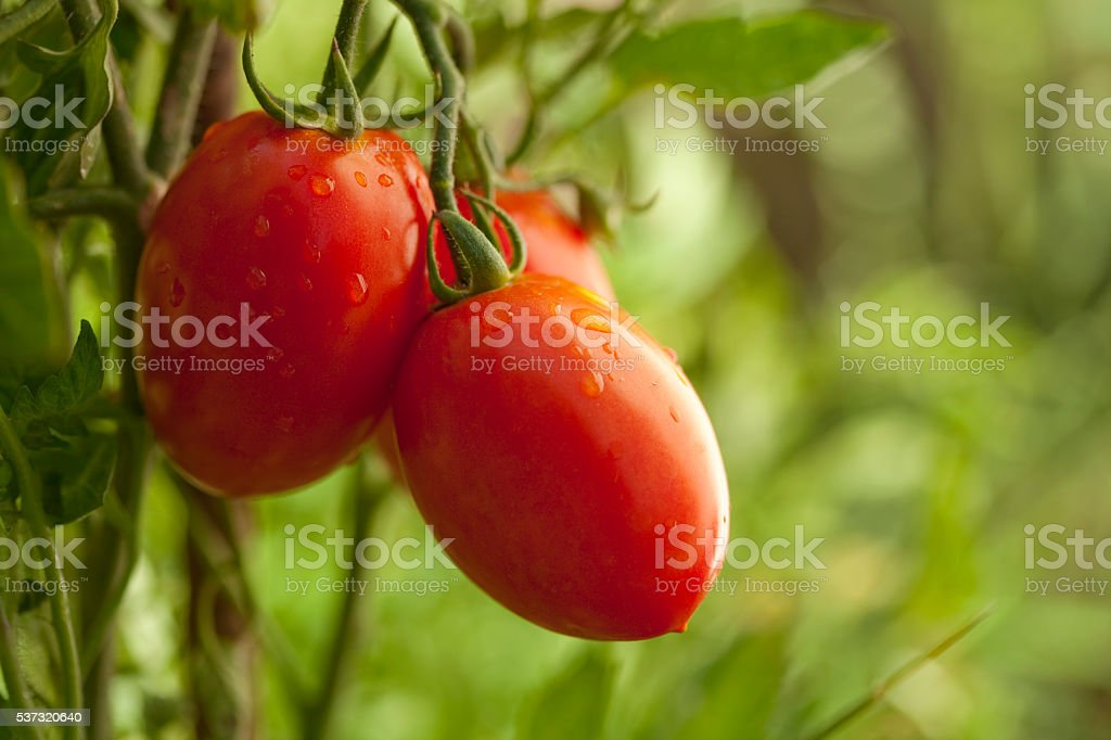 Red ripe tomatoes on the vine stock photo