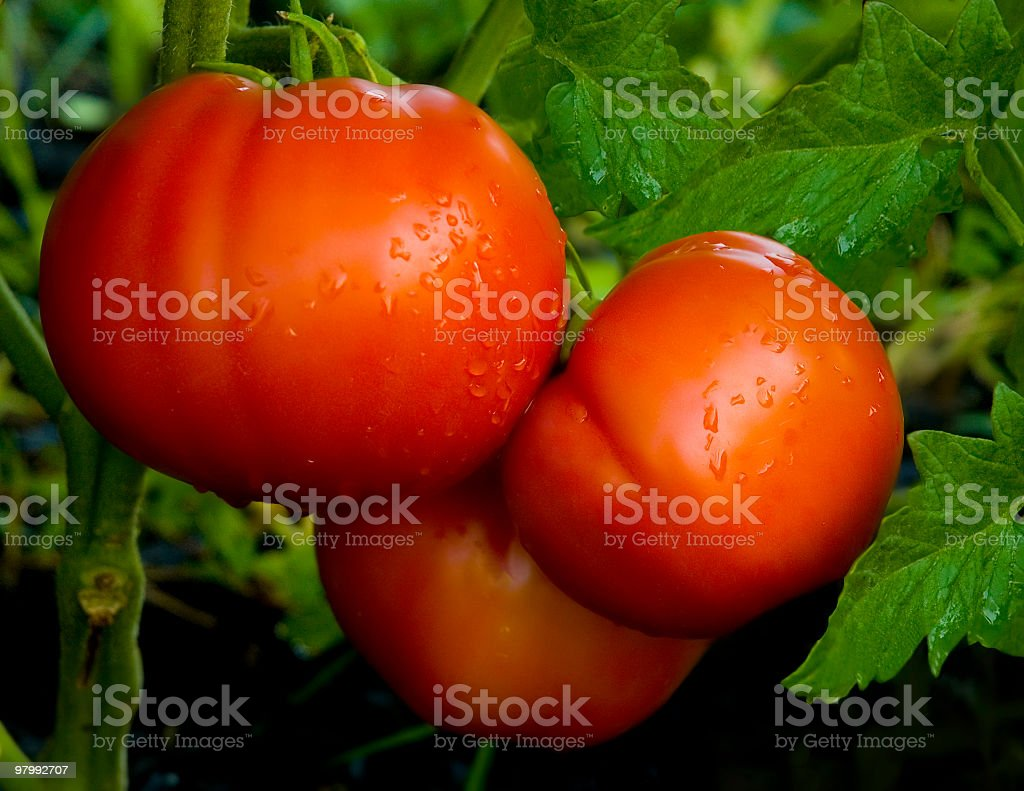 Red Ripe Tomatos on the Plant royalty-free stock photo