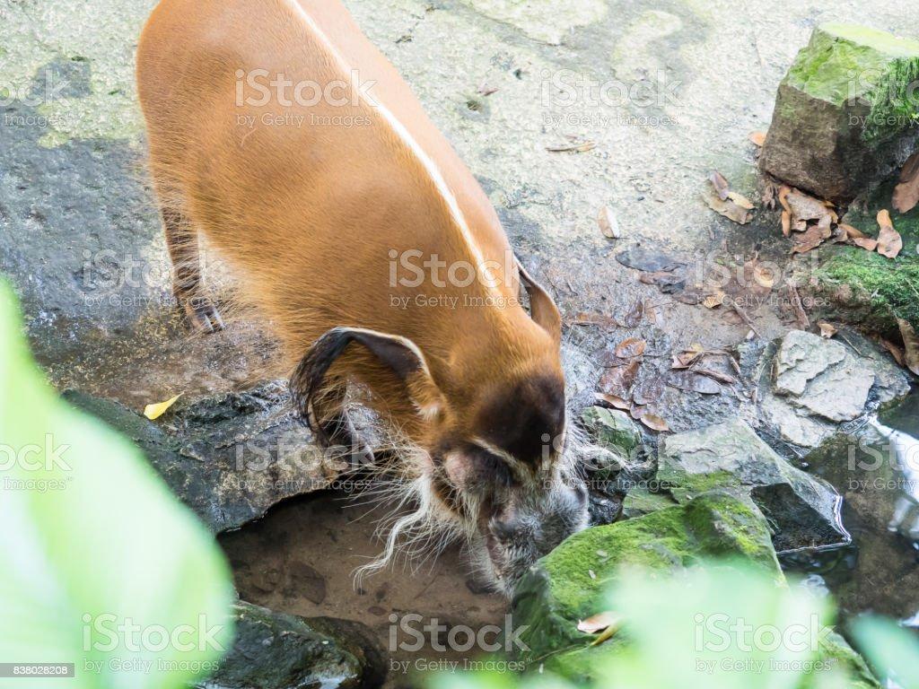 Red river hog bush pig stock photo