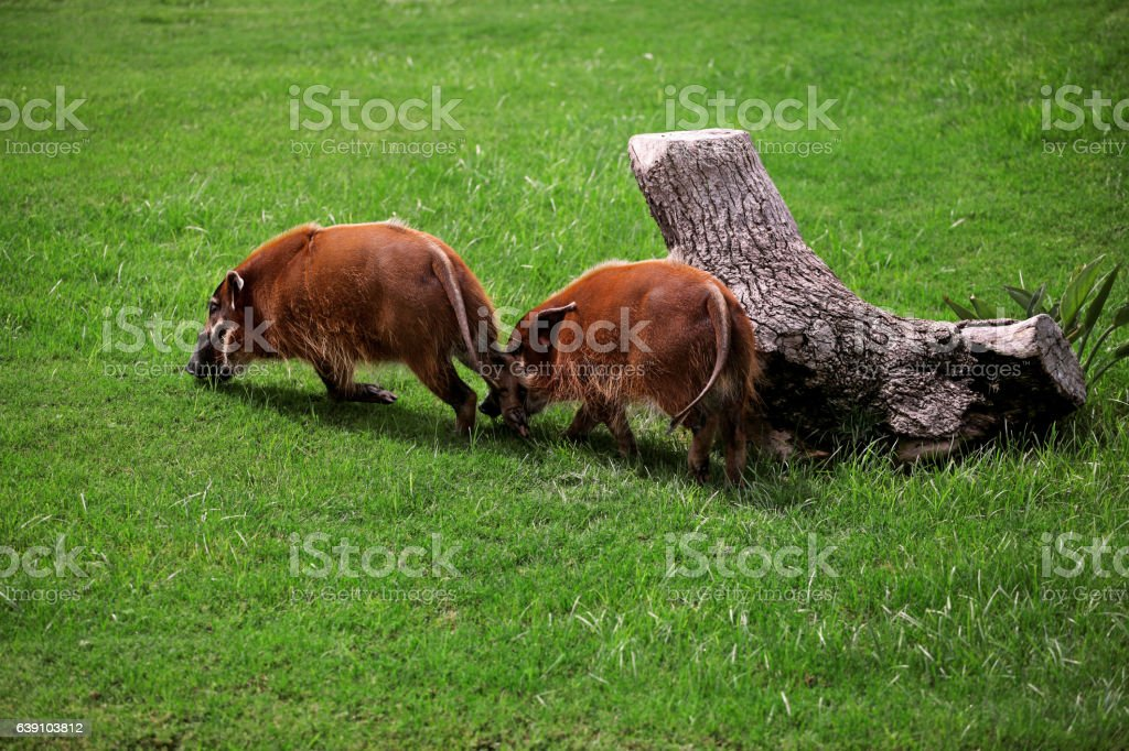 Red river hog in a beautiful natural environment stock photo