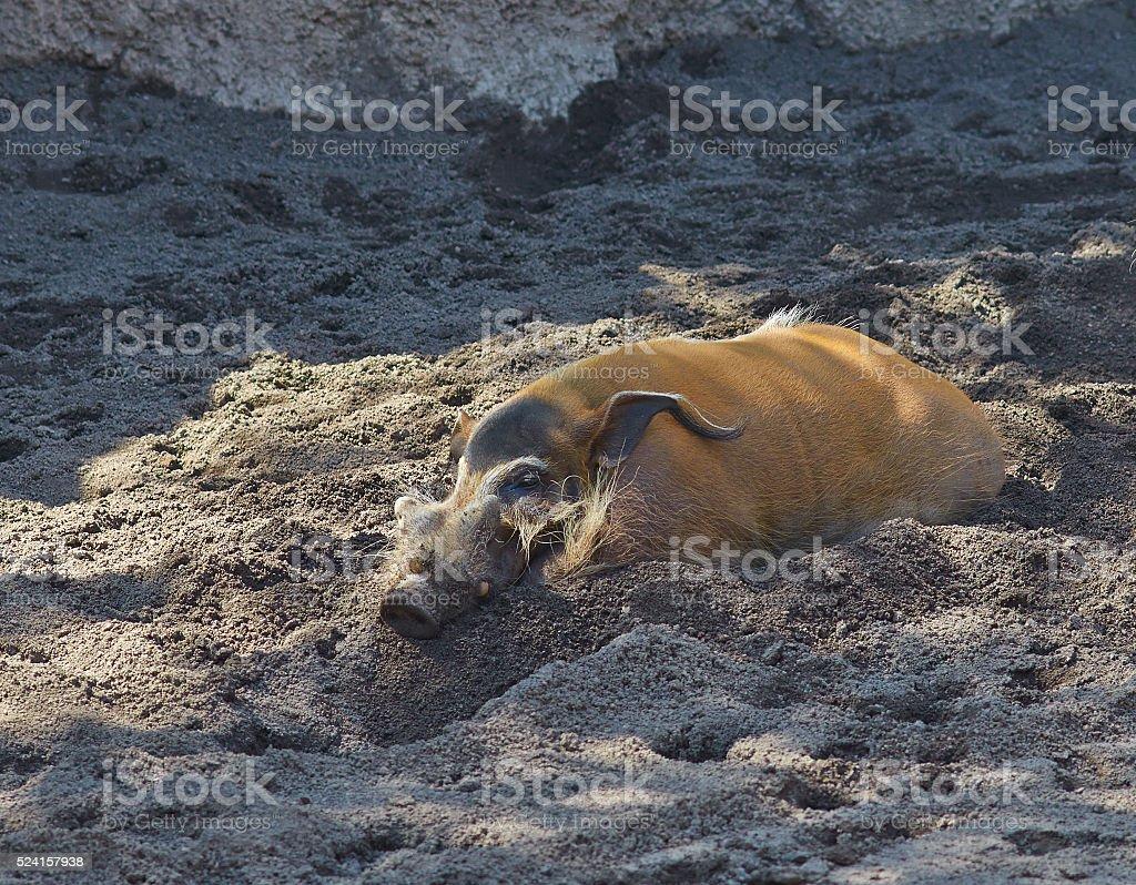 Red river hog (Potamochoerus porcus) is enjoying the sun. stock photo