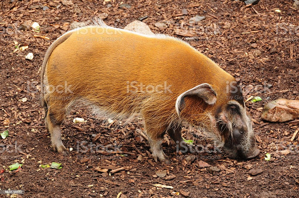 Red River Hog, Jersey. stock photo