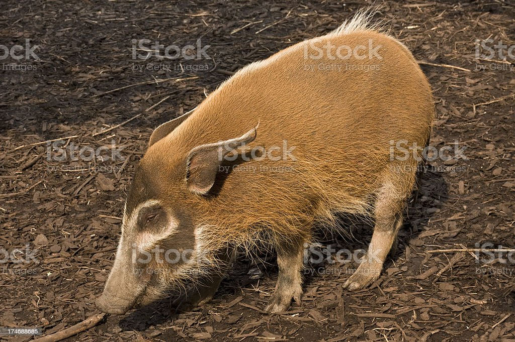 Red River Hog royalty-free stock photo