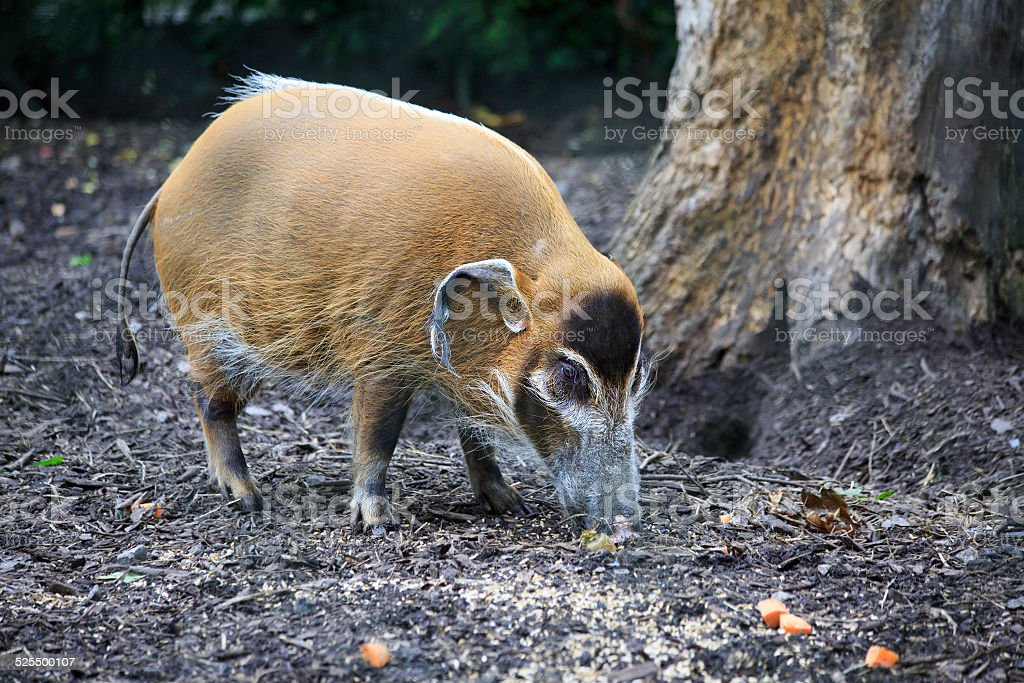 Red River Hog. stock photo