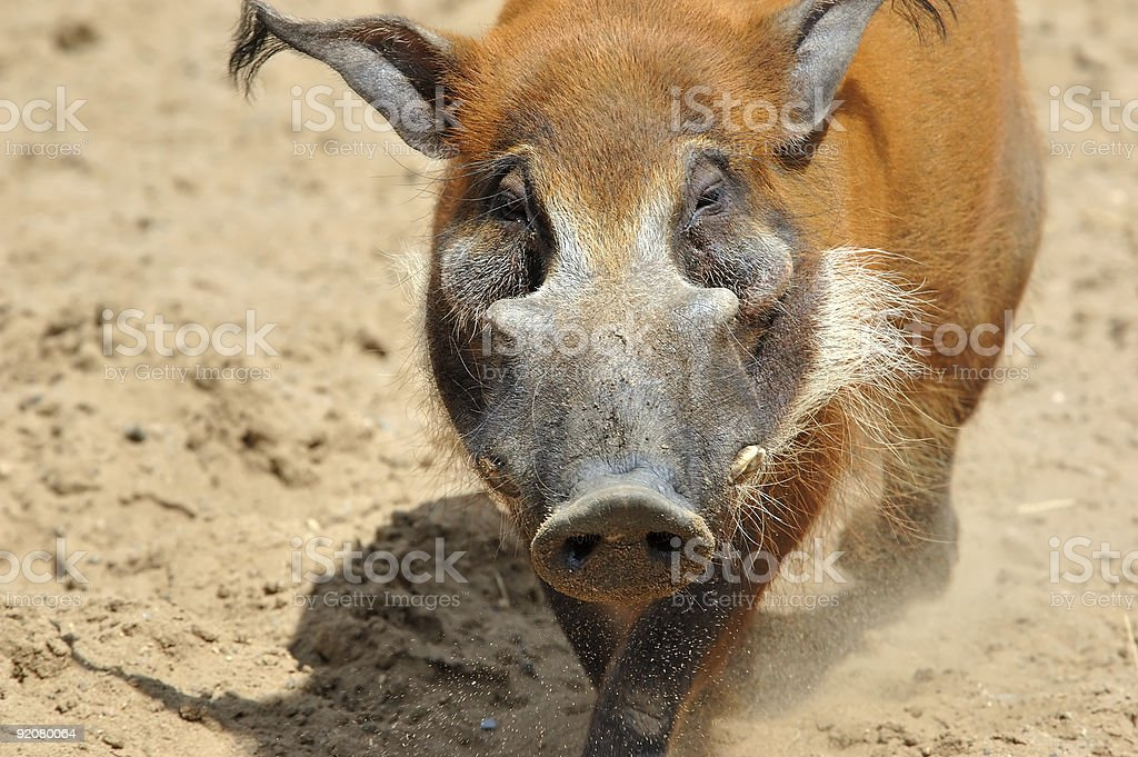 red river hog stock photo