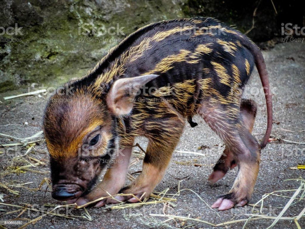 Red River Hog Piglet stock photo