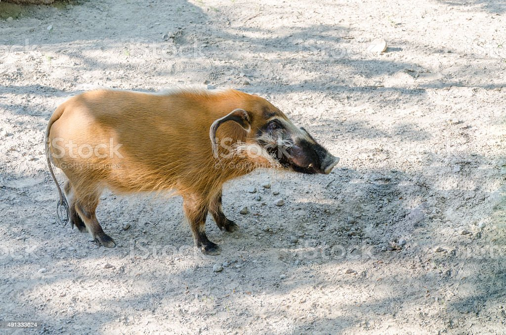 Red river hog side view stock photo