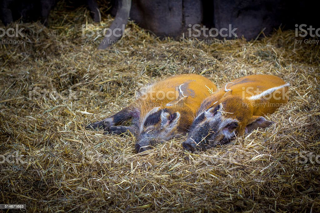 Red River Hogs stock photo