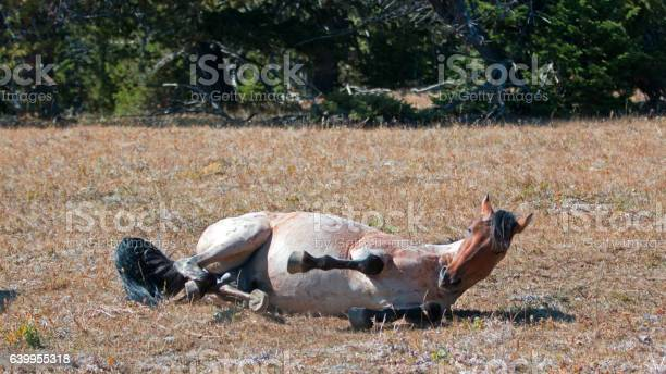 Photo of Red Roan Stallion rolling in the dust