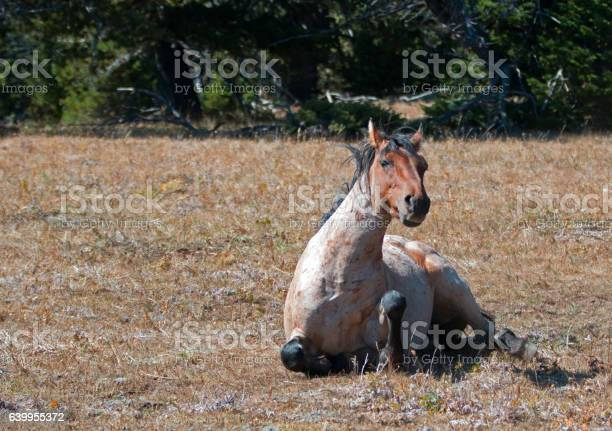 Photo of Red Roan Wild Stallion getting up from rolling in dust