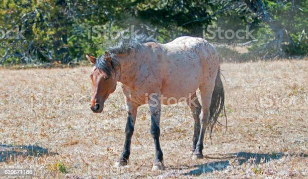 Photo of Red Roan Wild Stallion shaking the dust off after rolling