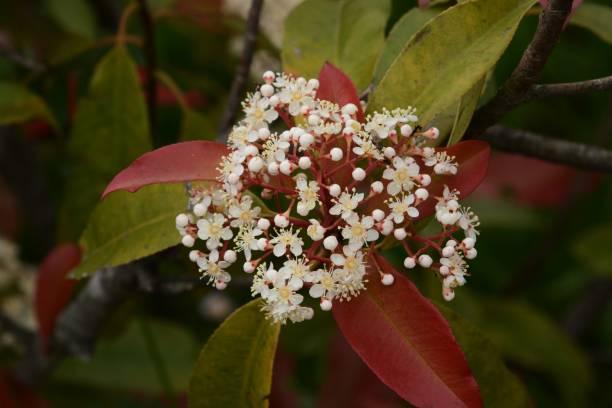 Red robin blossoms – zdjęcie