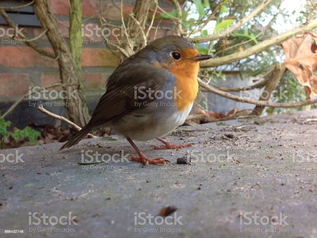 Red robin close up stock photo