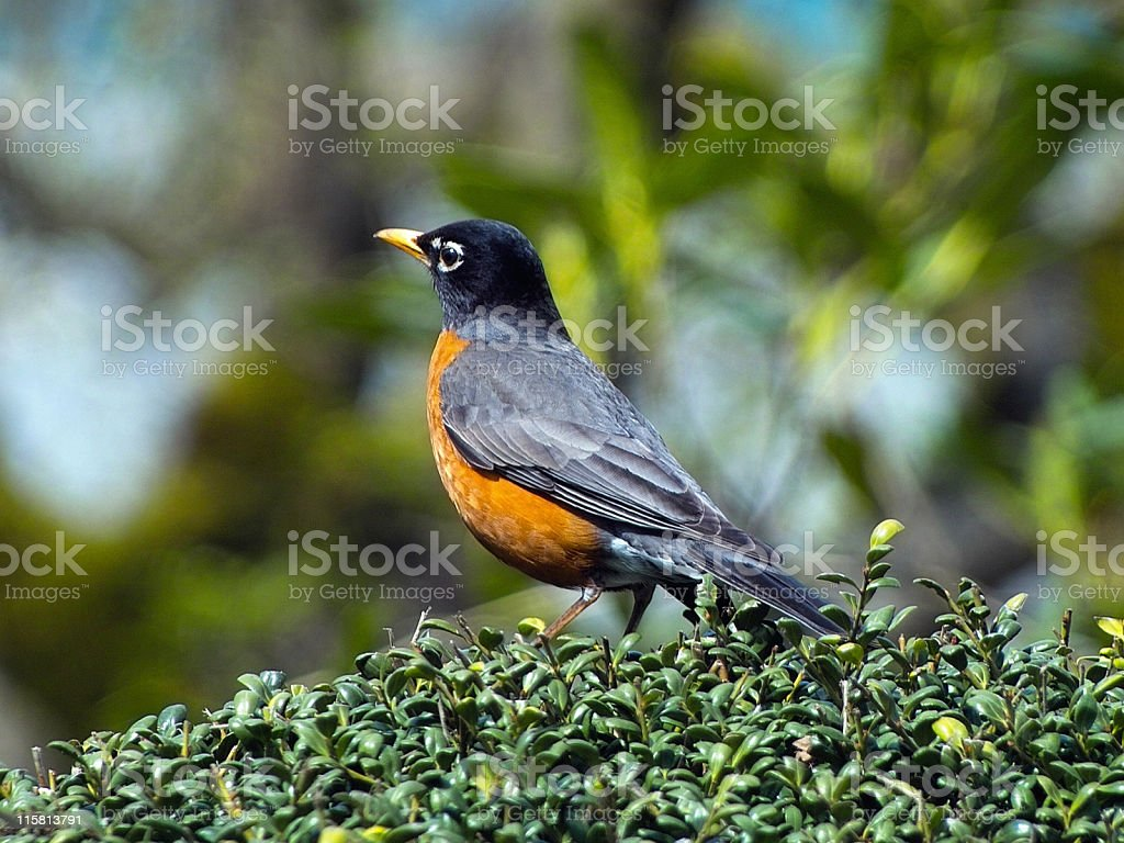 Red Robin royalty-free stock photo