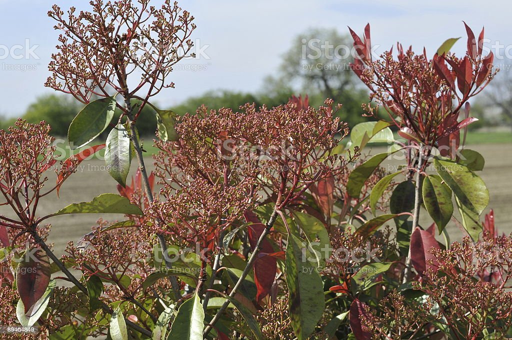 Red Robin Plants royalty-free stock photo