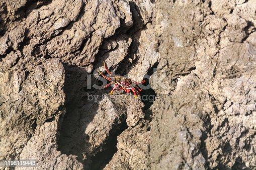 Red rock crab crawling on dark lava stones on ocean shore, La Palma island, Canary, Spain