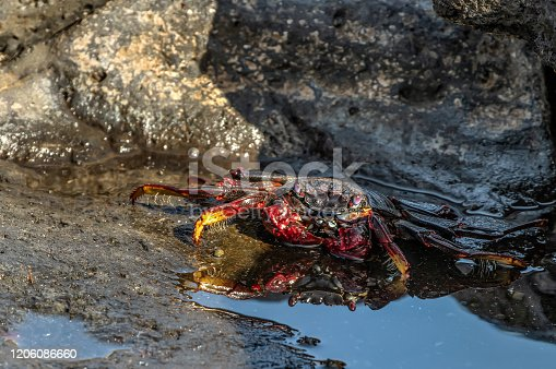 Red rock crab - Grapsus adscensionis - crawling on dark lava stones. The crab basks in the sun next to a small sea puddle in which its reflection is visible. Southern ocean shore of Tenerife, Spain.