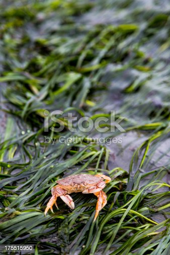 A Red Rock Crab sets on an Eel grass covered shore. The crab is small (~4 inches) and is common on Puget Sound Washington shores.