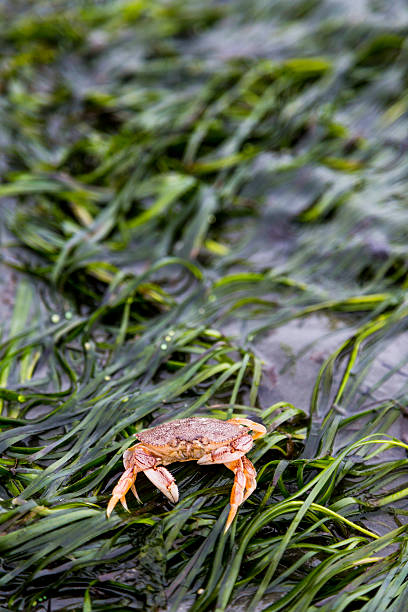 Red Rock Crab on an Eel Grass  Covered Beach A Red Rock Crab sets on an Eel grass covered shore. The crab is small (~4 inches) and is common on Puget Sound Washington shores. puget sound stock pictures, royalty-free photos & images