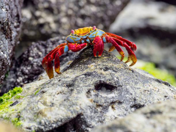 Red Rock Crab auf Galapagos Inseln – Foto