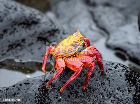 Red rock crab (Grapsus grapsus), also known as Red Sally Lightfoot crab or abuete negro - one of the most common crabs along the western coast of the Americas. The image taken on Santa Cruz island, Galapagos, Ecuador.
