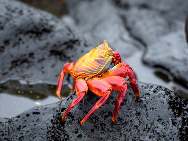 Red Rock Crab On Wet Rock Of Galapagos Islands – Foto