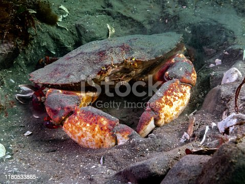 An adult Red Rock Crab burrowing in the mud; photographed in southern British Columbia.