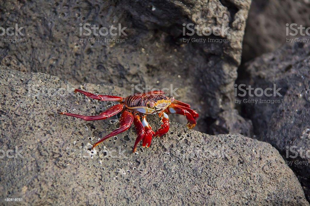 red rock crab royalty-free stock photo