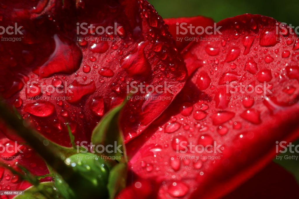 Red romantic roses foto stock royalty-free