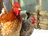 Chickens outdoor, poultry concept