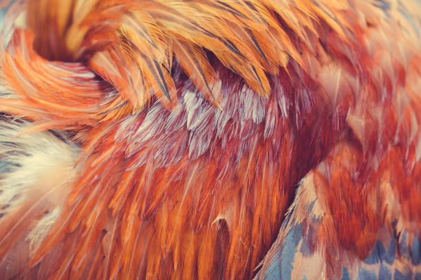 Red rooster feathers sticking out in different directions as a background or backdrop stock photo