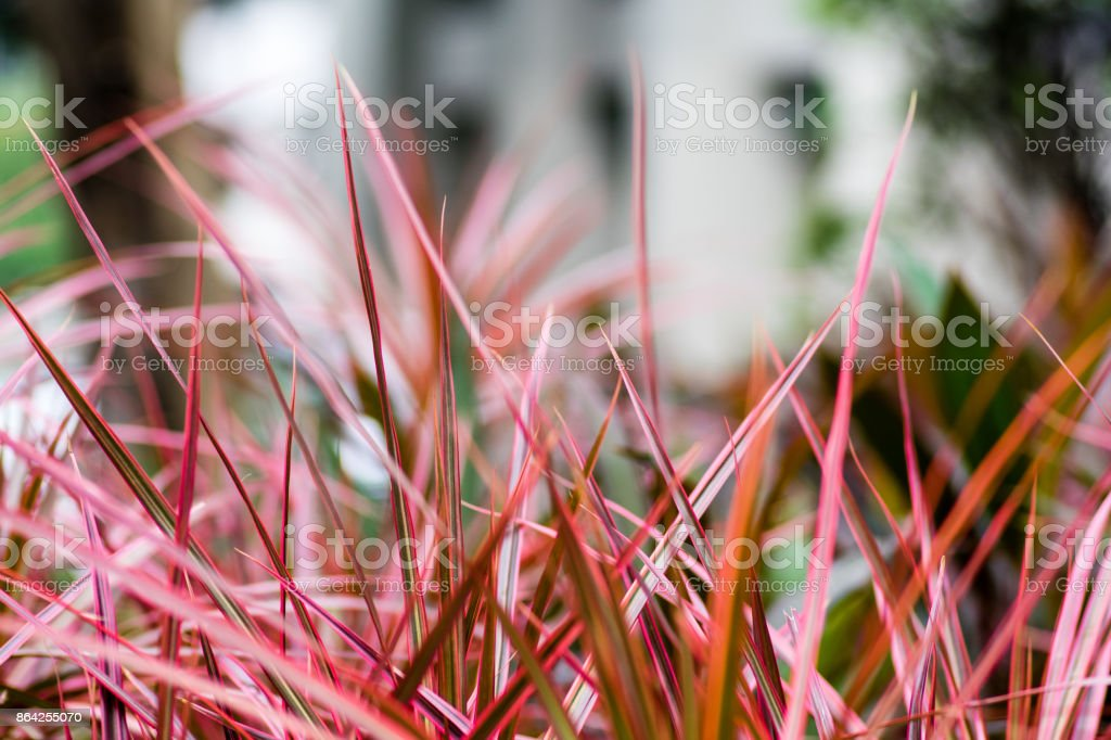 Red root royalty-free stock photo