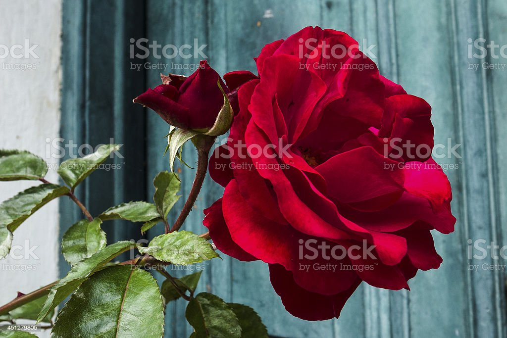 Red rose against green door royalty-free stock photo