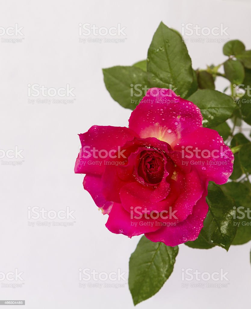Red rose against white background stock photo