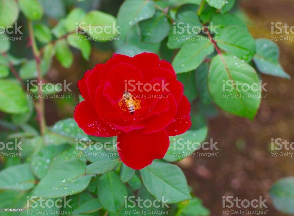 赤いバラとビー。 - クローズアップのロイヤリティフリーストックフォト