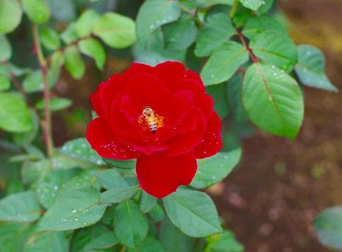 赤いバラとビー - クローズアップのストックフォトや画像を多数ご用意