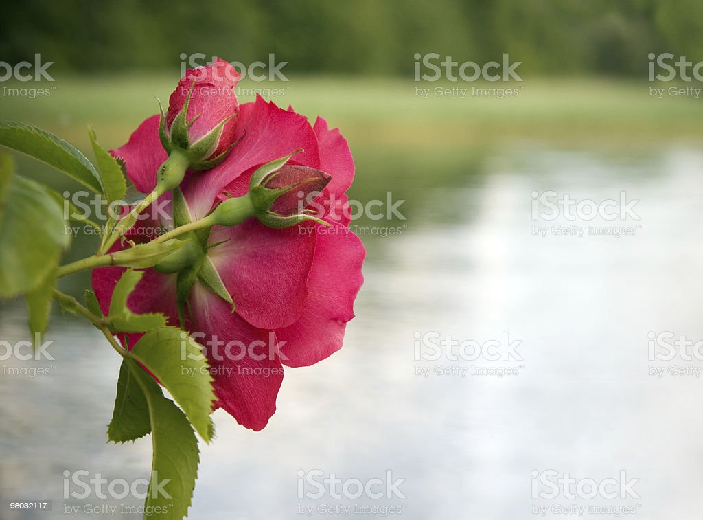 Red rose and buds royalty-free stock photo