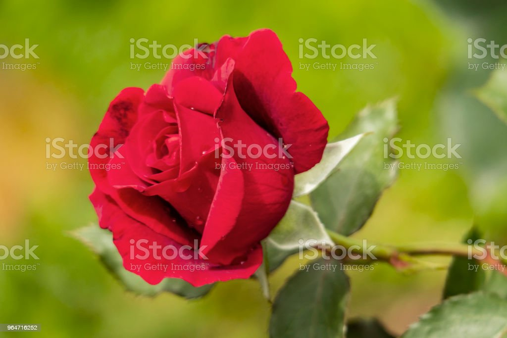 red rose and green leaves in nature royalty-free stock photo