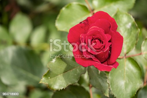 Red Rose And Green Leaves In Nature Stock Photo & More Pictures of Beauty