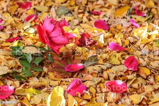 Red rose and petals on yellow autumn leaves in autumn still life picture id863661002?b=1&k=6&m=863661002&s=612x612&h=oknzdugbh z88i1a75vnogll4juhnwbxayys mijzku=